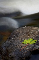 Autumn leaf on rock in the river North Esk
