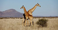 Giraffe Giraffa camelopardalis pair, Madikwe Game Reserve, South Africa