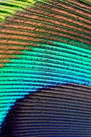 A colorful rainbow style macro composition of peacock feather