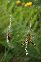A wasp or tiger spider Argiope Bruennichi in the centre of a web wrapping a fly