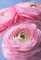 Close_up of three pink ranunculus flowers isolated on light blue background