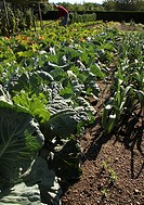 Rows of backlit cabbages in a well kept vegetable garden with gardener working