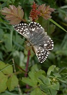 Grizzled skipper Pyrgus malvae resting in undergrowth