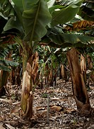 Irrigation system on a banana Musa acuminata plantation on the island of La Palma, Canary Islands
