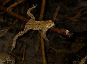 Common toad Bufo bufo clambering over a submerged branch in pond