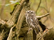Eastern screech owl Megascops asio perched on a branch, Ontario, Canada