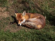 Red fox Vulpes Vulpes curled up to sleep