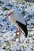 white stork Ciconia ciconia, in winter