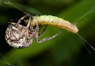 Spider Larinoides cornutus female eating caterpillar