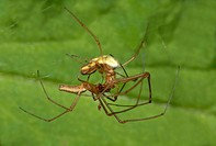 Spiders Tetragnatha extensa mating