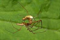 Spiders Tetragnatha extensa mating