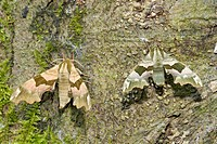 Male and female lime hawk moths Mimas tiliae resting on a tree during the day in a Norfolk wood