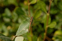 Female common darter dragonfly Sympetrum striolatum perched on bramble leaves