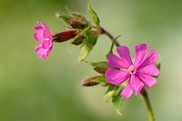 Red campion Silene dioica Close up of flowers in woodland