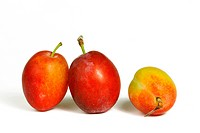 Victoria plums prunus domestica italica, probably the most well known variety of plum, against a white background