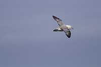 Fulmar Fulmarus glacialis in flight over Duncansby Head