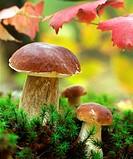 Boletus Edulius or Ceps mushrooms in nature  Wild edible mushrooms growing in a forest  Eastern Europe, Russia
