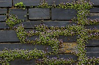 kenilworth ivy, ivy_leaved toadflax, coliseum ivy Cymbalaria muralis, Linaria muralis, blooming, Germany, Hamburg