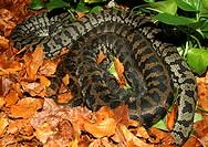 diamond python Morelia argus, Morelia spilota spilota, couple