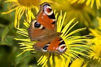 Peacock butterfly Inachis io on dwarf swordleaf inula Inula Ensifolia in a garden