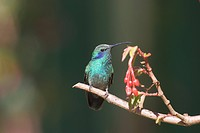 Green violetear Colibri thalassinus on a branch