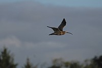 Curlew Numenius arquata in flight at sunset
