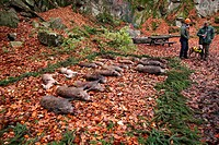 wild boar, pig, wild boar Sus scrofa, killed game, Germany