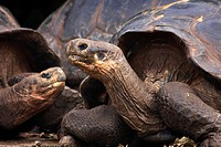 Galapagos giant tortoises Geochelone spp at the Charles Darwin Research Centre, Puerto Ayora, Santa Cruz Island