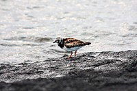 Ruddy turnstone Arenaria interpres by the sea at Puerto Egas, Santiago Island, Galapagos, Ecuador