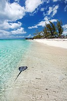 Stingray along shoreline on a beach in the Deep Creek area of Eleuthera, Bahamas