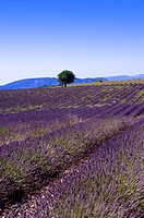 Lavender Field, France, Plateau De Valensole, Provence-Alpes-Cote d'Azur (thumbnail)