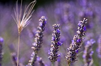 Lavender, Close_Up