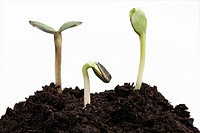 Three seedlings emerging from ground on white background