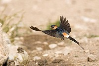Red_rumped swallow Hirundo daurica in flight showing red rump and long tail streamers, Kalofer, Bulgaria