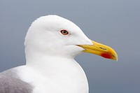 Close_up of an adult yellow_legged gull Larus michahllis, Gibraltar