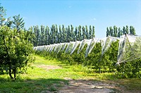 Apple Tree in the Field, France (thumbnail)