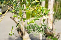 Olive on Tree, France