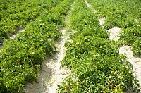 Tomato Field in France