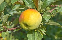 An apple hanging on tree, France