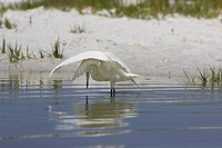 Reddish egret Egretta rufescensor white morph casting shadow when fishing at Fort de Soto