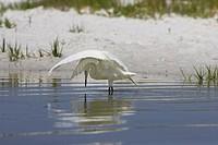 Reddish egret Egretta rufescensor white morph casting shadow when fishing at Fort de Soto