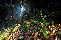 sunrise in autumn forest, Germany, Saxony, Vogtlaendische Schweiz