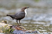 Male dipper Cinclus cinclus marking out his territory at Lathkill Dale, Derbyshire