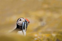 Puffin Fratercula arctica with a beak full of sandeels sitting amongst rocks covered in sunburst lichen, Farne Islands, Northumberland, England