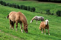 Horses on a meadow, Palatinate region, Rhineland-Palatinate, Germany