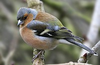 Male chaffinch fringilla coelebs perched on a branch, Lancashire