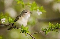 Warbling vireo gilvus vireonidae singing from branch in apple blossom tree in the springtime, Ontario, Canada