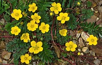 Close_up of a group of silverweed flowers Potentilla anserina growing on a path in an open meadow