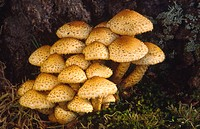 A group of shaggy pholiota Pholiota squarrosa growing at the base of a tree in the New Forest