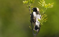 Male bobolink Dolichonyx oryzivorus perched on branch and singing in a meadow located near Guelph, Ontario